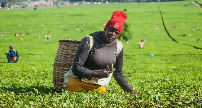 Как выращивают чай в Кении