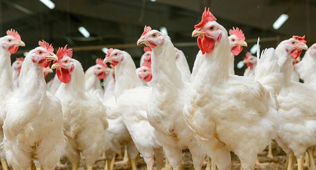Почему из курицы не делают тартар?