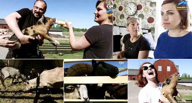 Как живут фермеры на севере Швеции